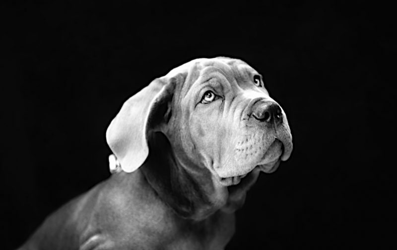 Pet portrait Photographer in Derby - Black White Dog